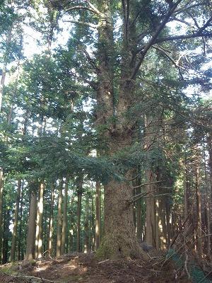 立派なツゲの木