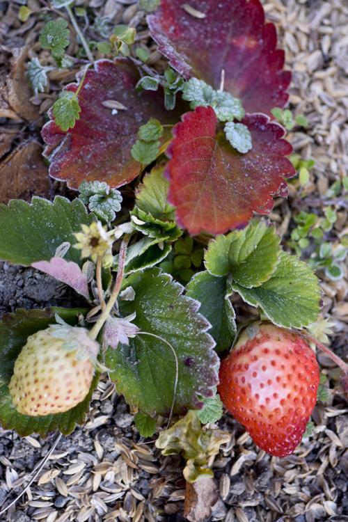 strawberry_16_1_16_1.jpg