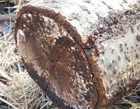 椎茸原木 小口