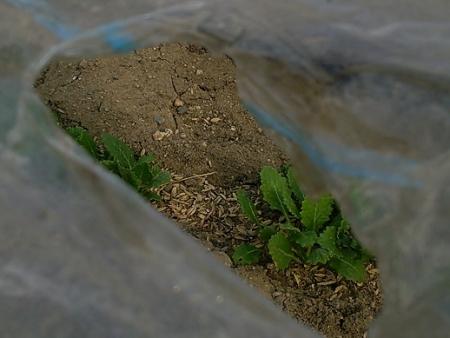 11月播種 小松菜類