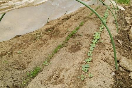 トンネル 葉物栽培 間引き