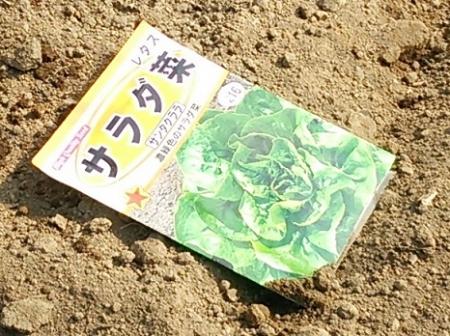 サラダ菜播種