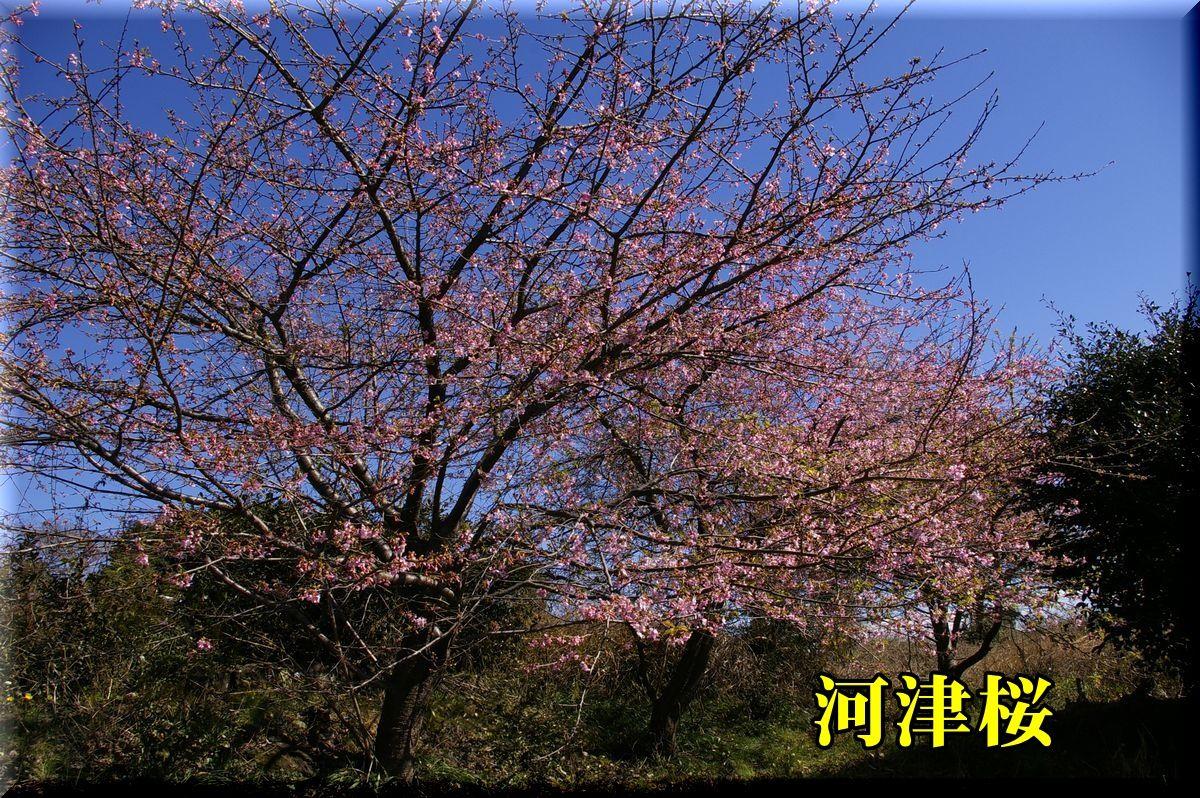 1kawazu160216_017.jpg