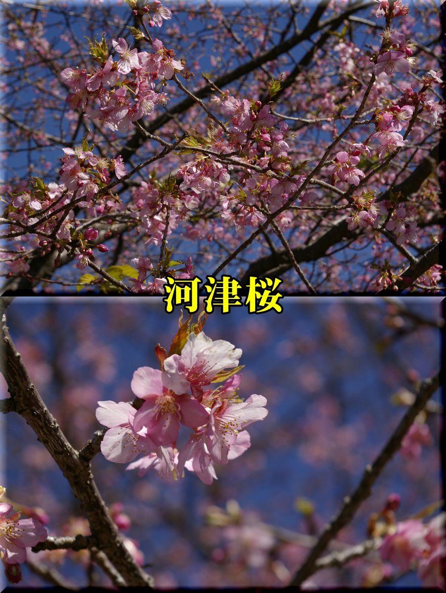 1kawazu160216_023.jpg