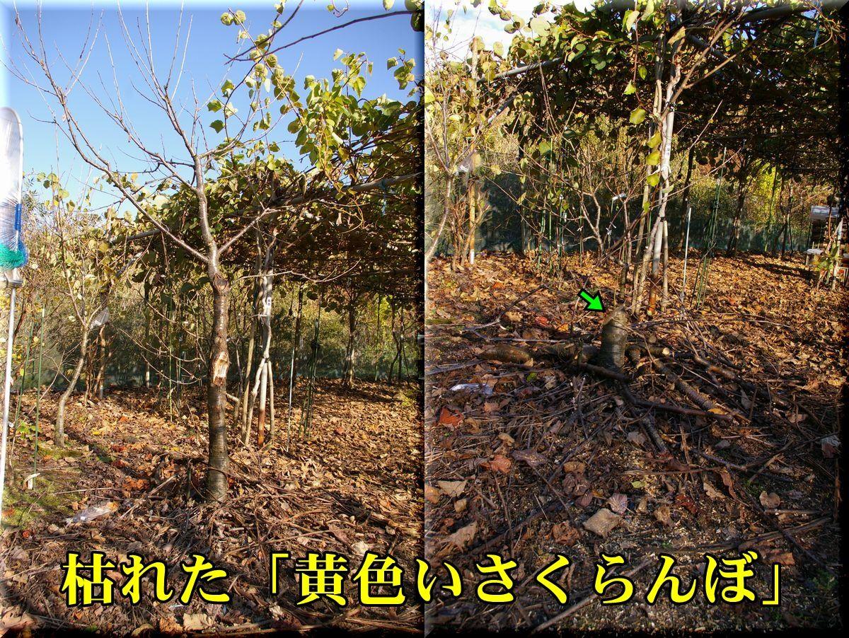 1kiroisakuranbo151215_010.jpg