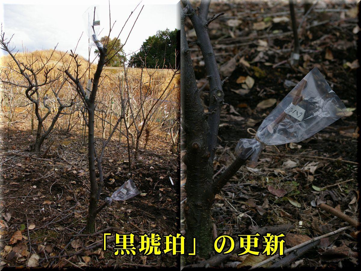 1kurokoha160121.jpg