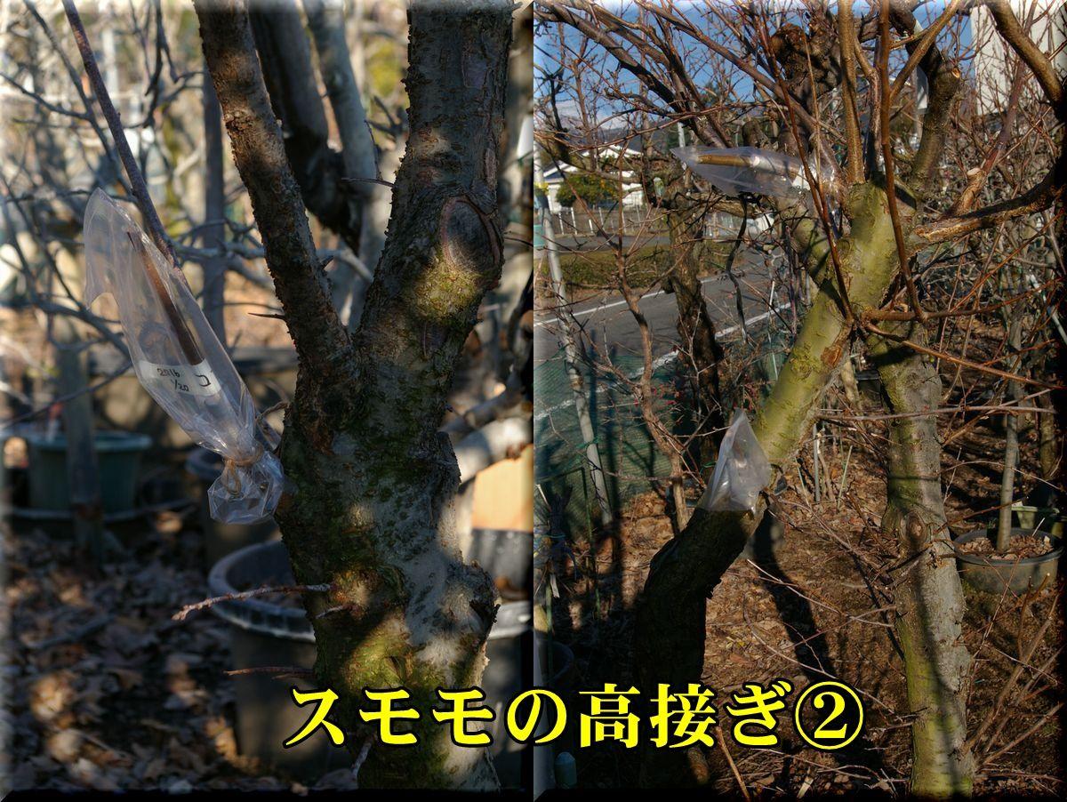 1sumomo160120_017.jpg