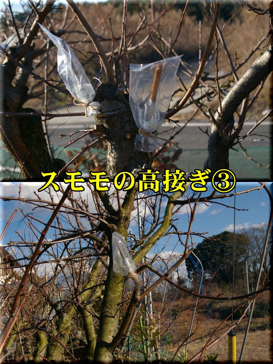 1sumomo160120_019.jpg