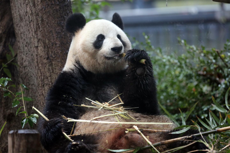 ueno panda