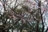 柿田川公園河津桜