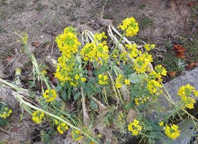 0229-菜の花