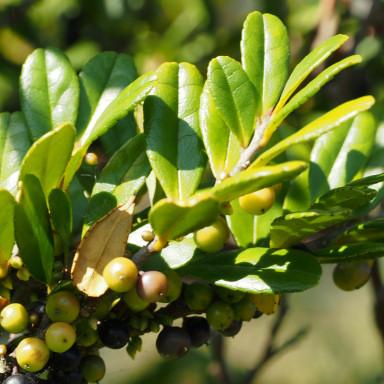 384-サツマシジミ植樹ハマヒサカキ-2015-11-03和歌山-OMD07696