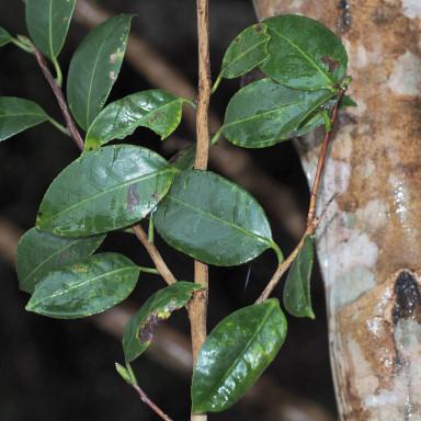 384-サツマシジミ植樹バクチノキ-2015-11-03和歌山-OMD07169