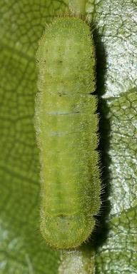 384-ヤクシマルリシジミ幼虫8mm@テリハノイバラ-2015-11-03和歌山-OMD07775