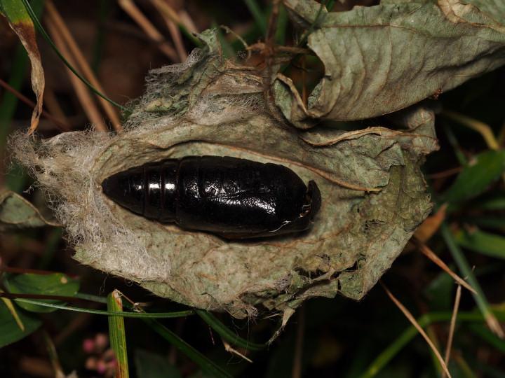 アケビコノハ蛹の抜け殻-2015-11-13舞岡-OMD08472