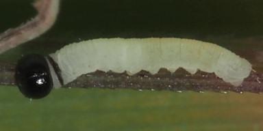 384-ギンイチモンジセセリ幼虫2_5mm-OMD02800