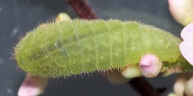 384-ツバメシジミ幼虫8mm-2015-09-08-OMD02985