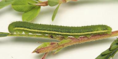 384-ツマグロキチョウ幼虫17mm-2015-09-13-OMD03569