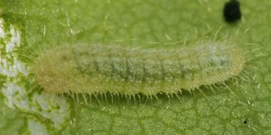 384-ヤクシマルリシジミ幼虫3mm(2齢)-2015-11-12-OMD08249
