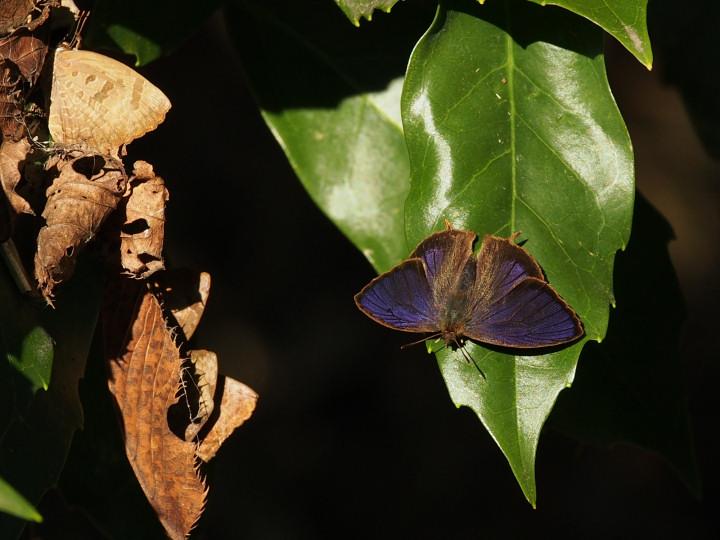 ムラサキツバメ塒と♂開翅-2015-12-05ふるさと村-OMD00261