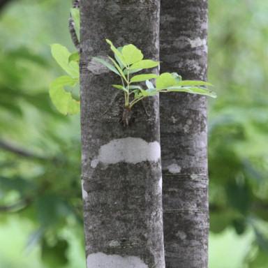384-チョウセンアカシジミ植樹@デワノトネリコ-2015-06-19-7D2_7317