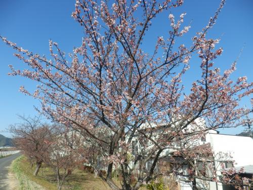 寒桜2.11