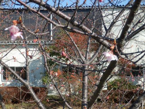 咲きはじめ2.11