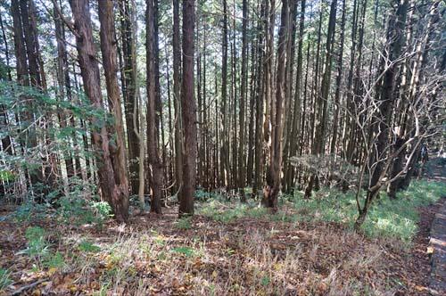5スギ植林