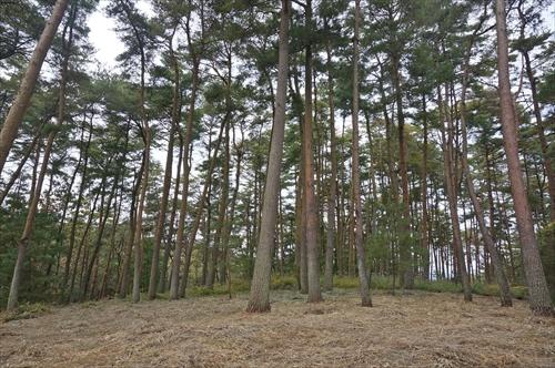 1アカマツ林