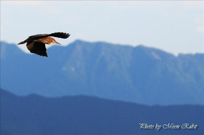 鷺のコロニー ゴイサギ(五位鷺)と石鎚山
