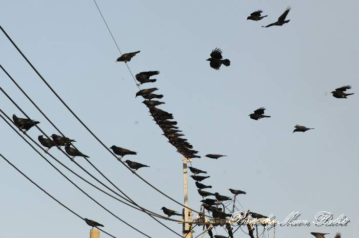 鴉の群れ 愛媛県西条市禎瑞上