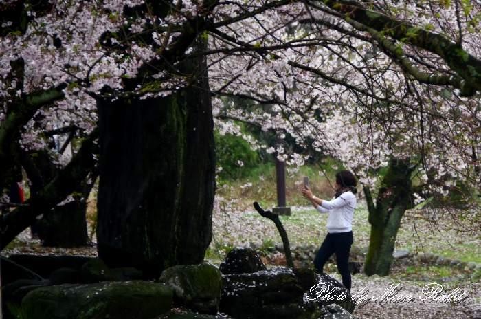 桜を撮る 愛媛県西条市