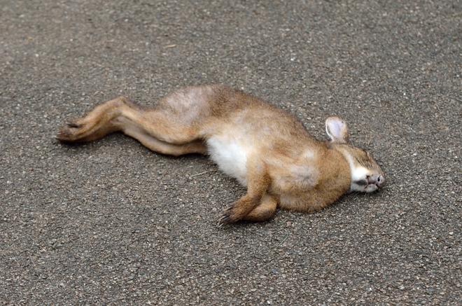 ノウサギ死体-全身
