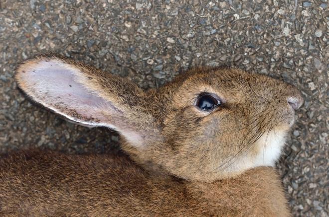 ノウサギ死体-眼