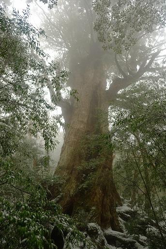 2月17日 雪の大王杉