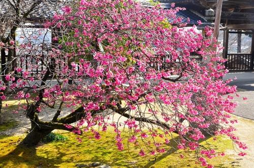 3孝子桜16.02.28