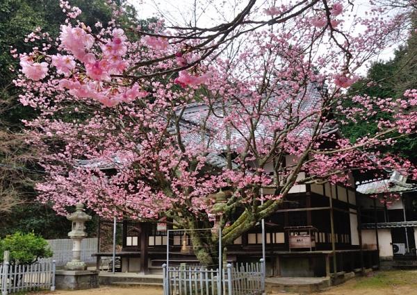 1三島神社薄紅寒桜16.03.04