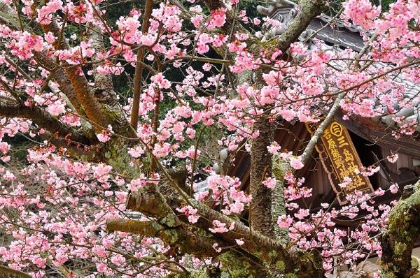 2三島神社薄紅寒桜16.03.04