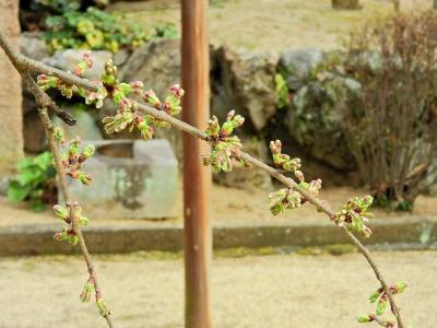 4うば桜16.03.10