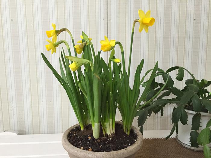 春の気配 水仙 2016 立春