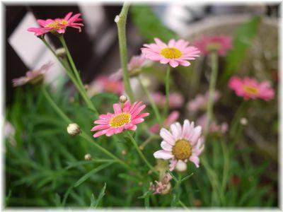 001-咲き続ける花151111001
