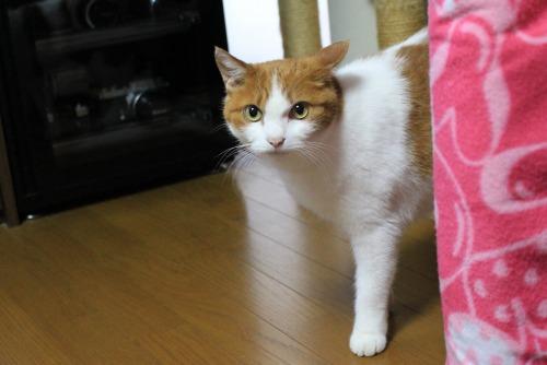 ブログNo.458お休み(くぅにゃんだって猫である)4