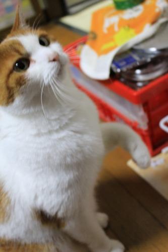 ブログNo.494(にゃ!今日も鶏肉!?)10
