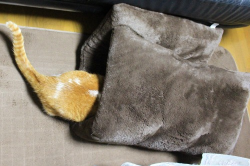 ブログNo.462(座布トンネルで遊ぶ猫)2