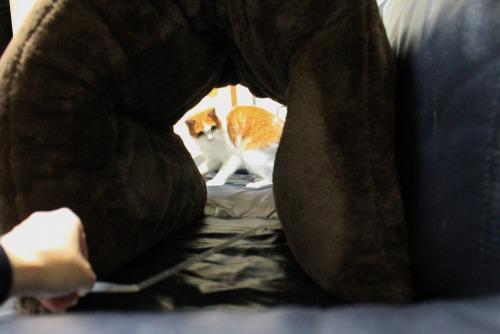 ブログNo.462(座布トンネルで遊ぶ猫)6