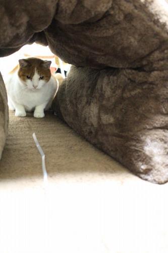 ブログNo.462(座布トンネルで遊ぶ猫)9