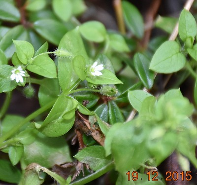 Common Chickenweed コハコベ (Stellaria media) Vogelmuur