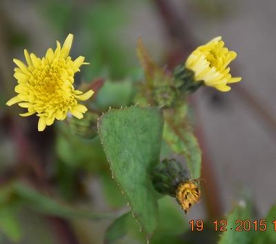 Common sowthistle ノゲシ (Sonchus oleraceus) Gewone melkdistel