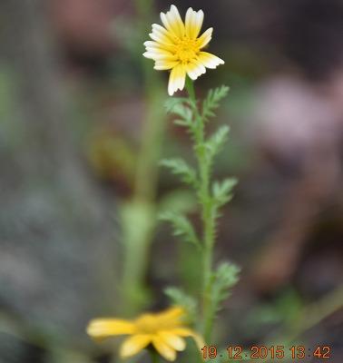Edible chrysanthemum シュンギク春菊白フチ品種 Glebionis coronaria)Gekroonde ganzenbloem