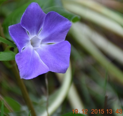 Large periwinkle ツルニチニチソウ (Vinca major) Grote maagdenpalm